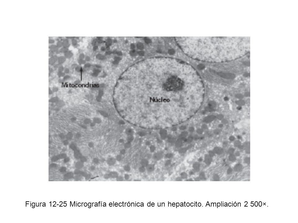 Figura 12-25 Micrografía electrónica de un hepatocito. Ampliación 2 500×.