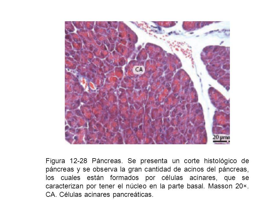 Figura 12-28 Páncreas. Se presenta un corte histológico de páncreas y se observa la gran cantidad de acinos del páncreas, los cuales están formados po