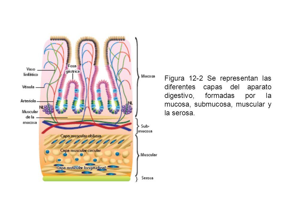 Figura 12-3 Se muestra el vestíbulo en la cavidad oral y sus límites anatómicos; en esta imagen se puede observar la mucosa de revestimiento.