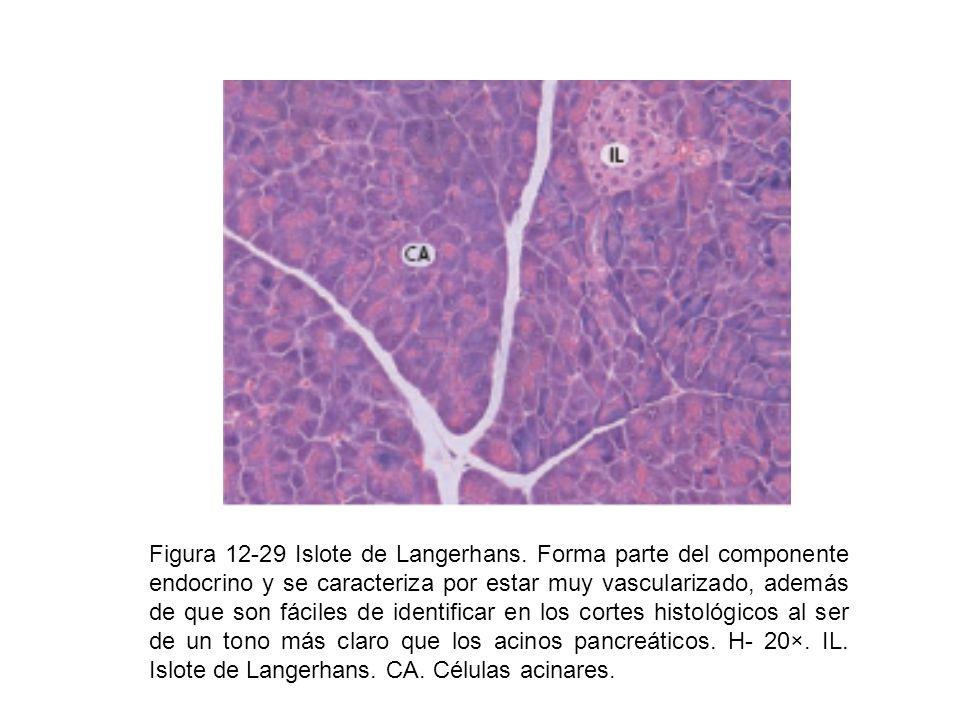 Figura 12-29 Islote de Langerhans. Forma parte del componente endocrino y se caracteriza por estar muy vascularizado, además de que son fáciles de ide