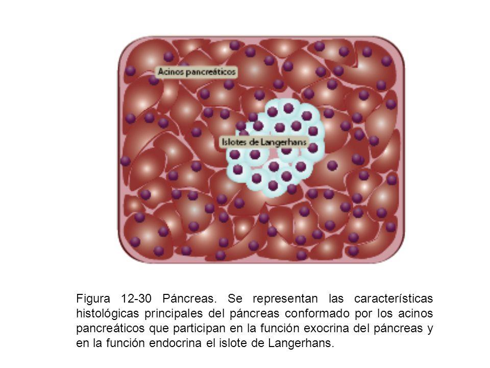 Figura 12-30 Páncreas. Se representan las características histológicas principales del páncreas conformado por los acinos pancreáticos que participan