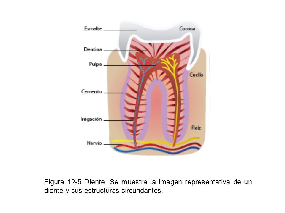 Figura 12-5 Diente. Se muestra la imagen representativa de un diente y sus estructuras circundantes.