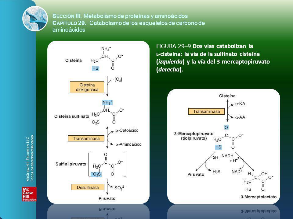 FIGURA 29–9 Dos vías catabolizan la L -cisteína: la vía de la sulfinato cisteína (izquierda) y la vía del 3-mercaptopiruvato (derecha). S ECCIÓN III.
