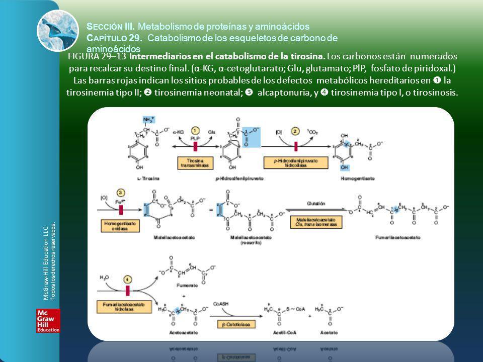 FIGURA 29–13 Intermediarios en el catabolismo de la tirosina. Los carbonos están numerados para recalcar su destino final. (α-KG, α-cetoglutarato; Glu
