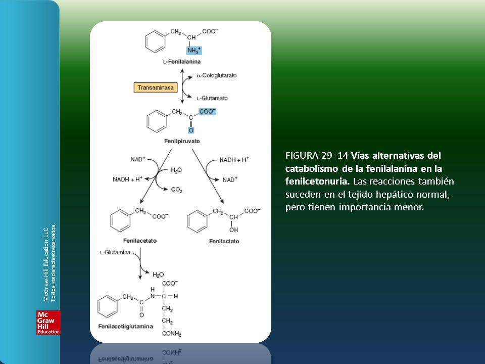 FIGURA 29–14 Vías alternativas del catabolismo de la fenilalanina en la fenilcetonuria. Las reacciones también suceden en el tejido hepático normal, p