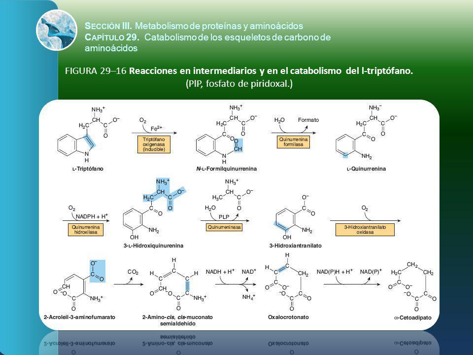 FIGURA 29–16 Reacciones en intermediarios y en el catabolismo del l-triptófano. (PlP, fosfato de piridoxal.) S ECCIÓN III. Metabolismo de proteínas y