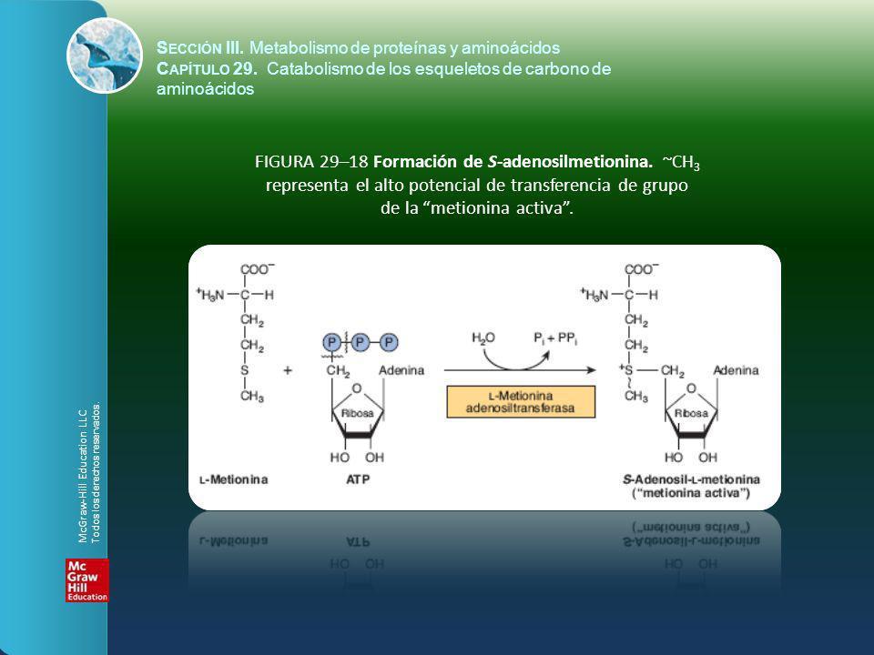 FIGURA 29–18 Formación de S-adenosilmetionina. ~CH 3 representa el alto potencial de transferencia de grupo de la metionina activa. S ECCIÓN III. Meta