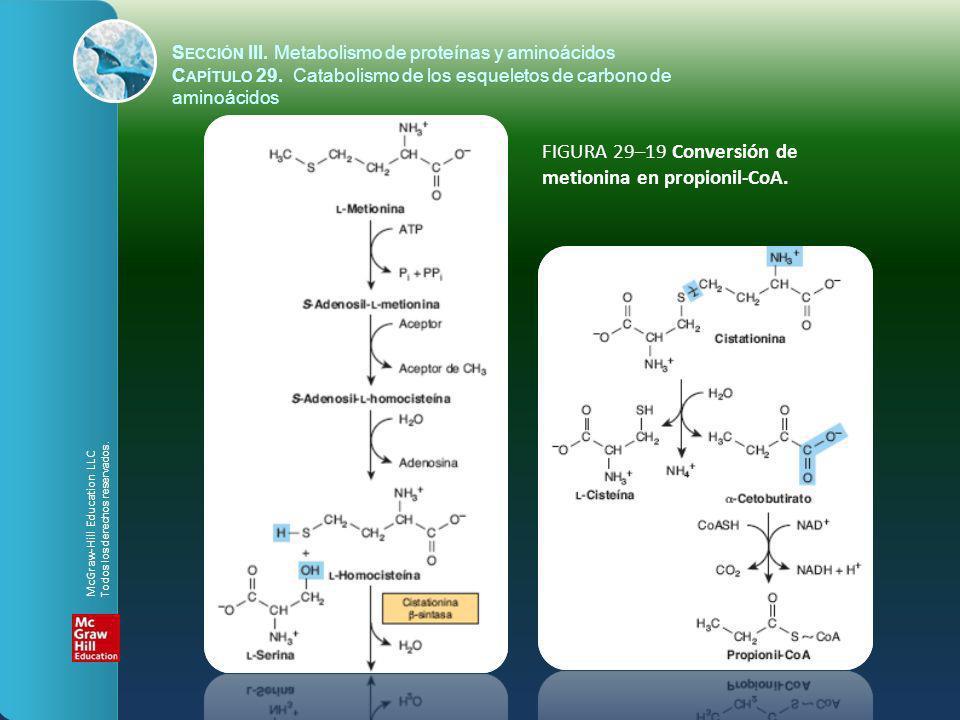 FIGURA 29–19 Conversión de metionina en propionil-CoA. S ECCIÓN III. Metabolismo de proteínas y aminoácidos C APÍTULO 29. Catabolismo de los esqueleto