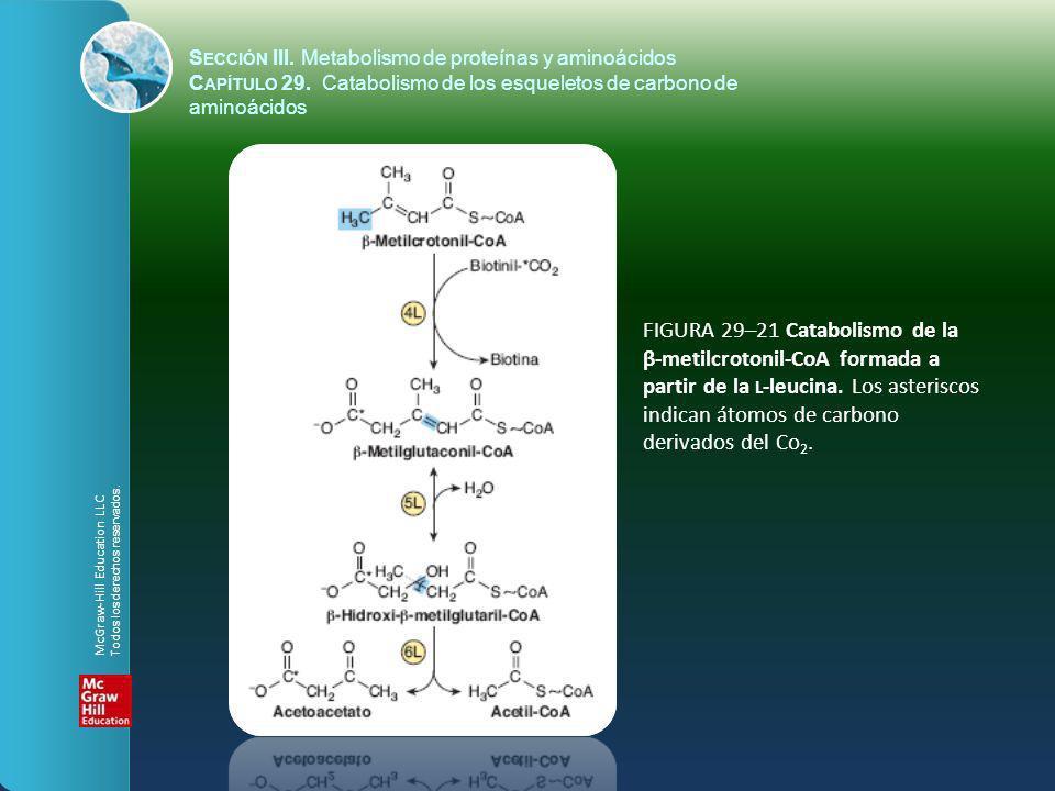 FIGURA 29–21 Catabolismo de la β-metilcrotonil-CoA formada a partir de la L -leucina. Los asteriscos indican átomos de carbono derivados del Co 2. S E