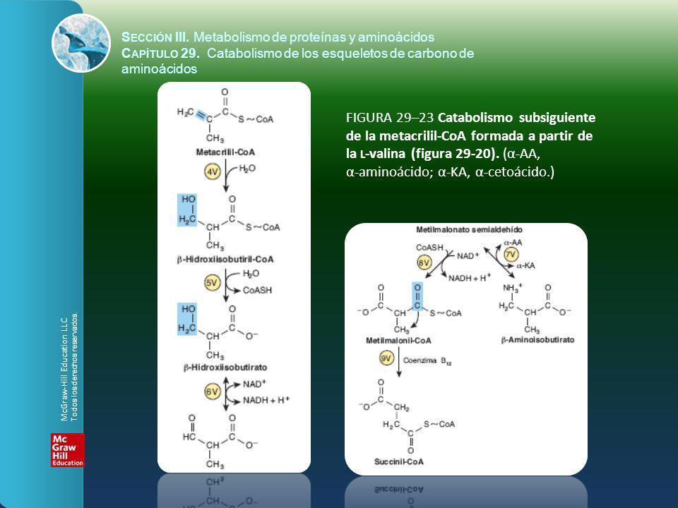 FIGURA 29–23 Catabolismo subsiguiente de la metacrilil-CoA formada a partir de la L -valina (figura 29-20). (α-AA, α-aminoácido; α-KA, α-cetoácido.) S