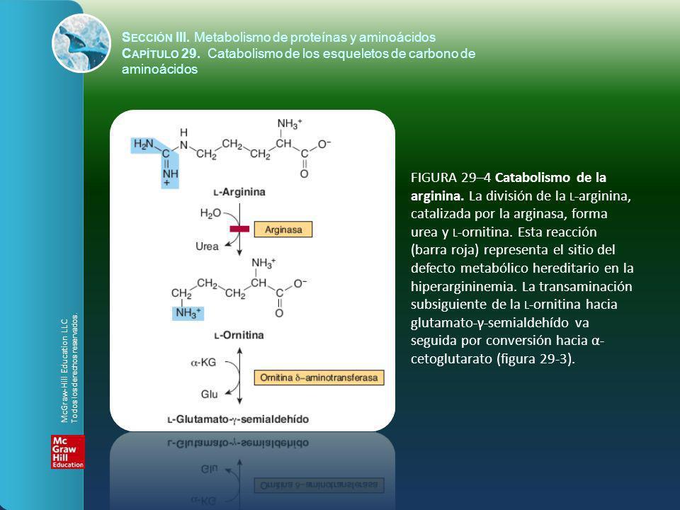 FIGURA 29–4 Catabolismo de la arginina. La división de la L -arginina, catalizada por la arginasa, forma urea y L -ornitina. Esta reacción (barra roja