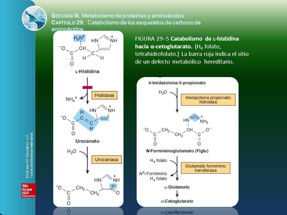 FIGURA 29–5 Catabolismo de L -histidina hacia α-cetoglutarato. (H 4 folato, tetrahidrofolato.) La barra roja indica el sitio de un defecto metabólico