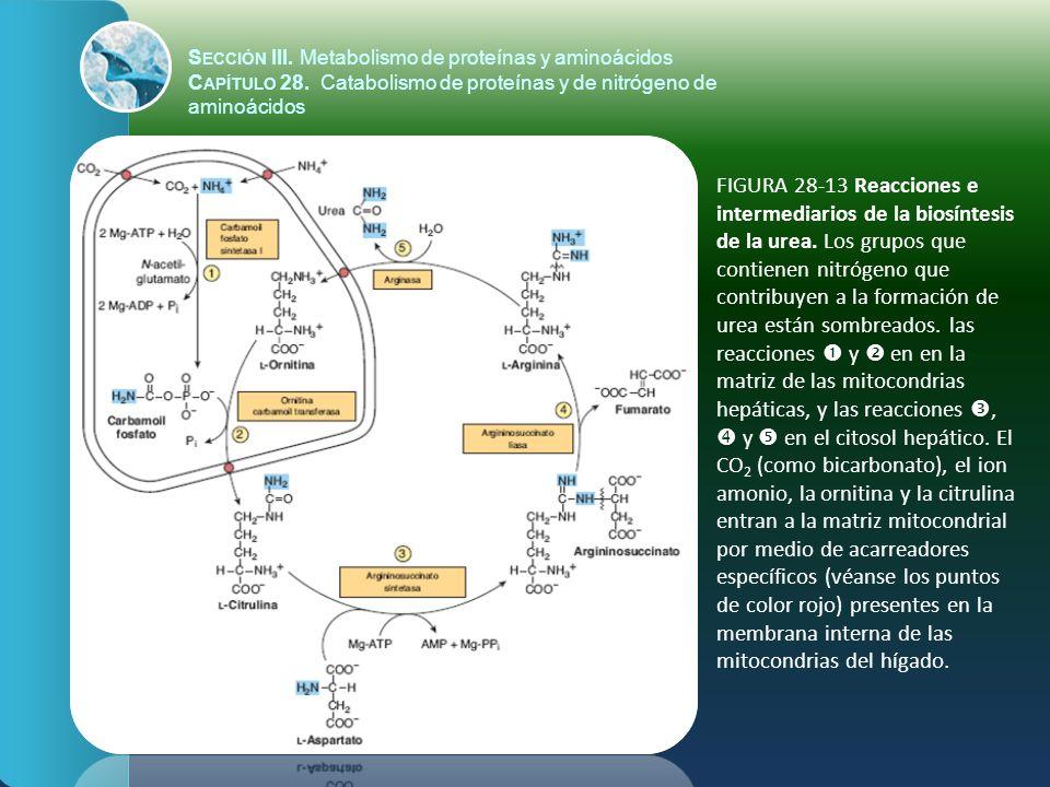 FIGURA 28-13 Reacciones e intermediarios de la biosíntesis de la urea. Los grupos que contienen nitrógeno que contribuyen a la formación de urea están