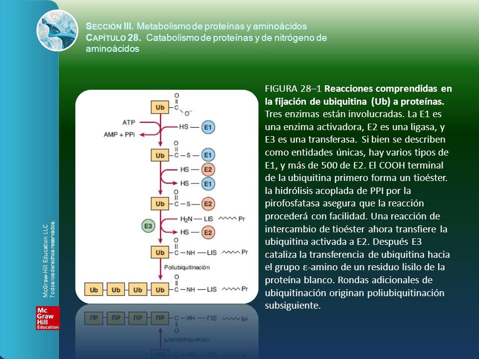 S ECCIÓN III. Metabolismo de proteínas y aminoácidos C APÍTULO 28. Catabolismo de proteínas y de nitrógeno de aminoácidos FIGURA 28–1 Reacciones compr