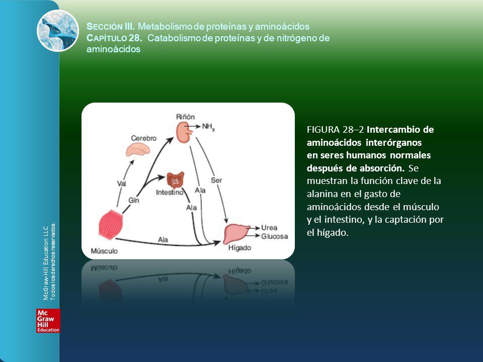 FIGURA 28–2 Intercambio de aminoácidos interórganos en seres humanos normales después de absorción. Se muestran la función clave de la alanina en el g