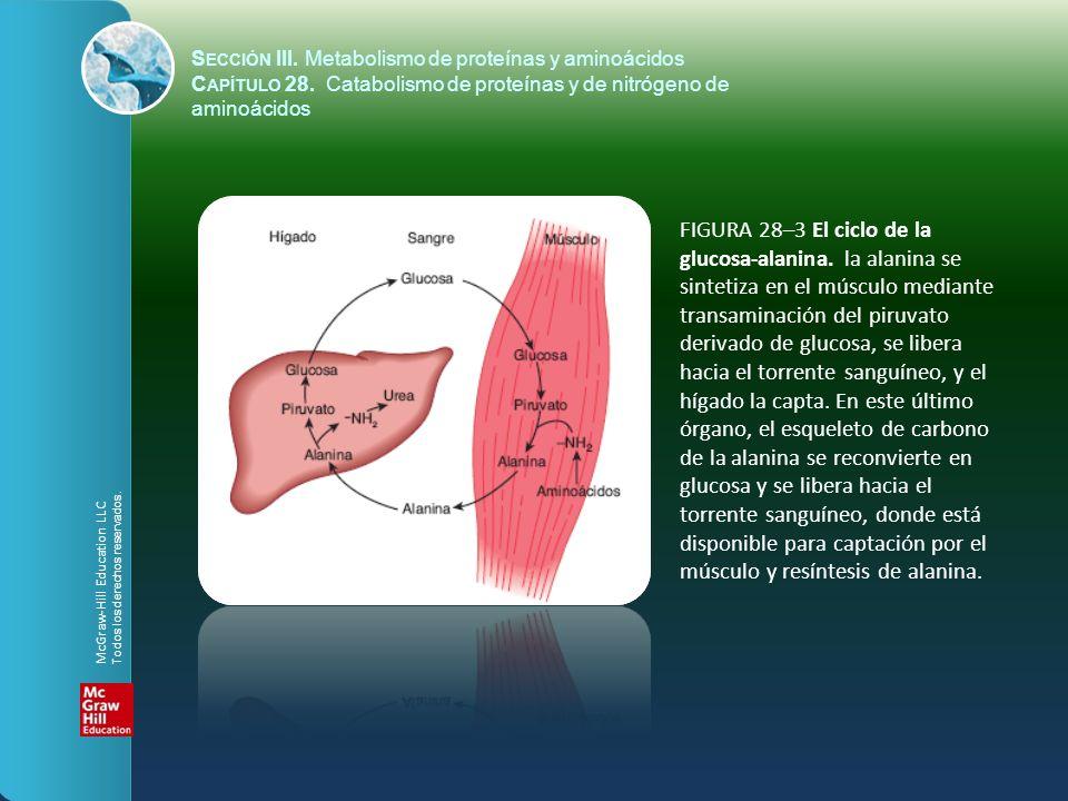 FIGURA 28–3 El ciclo de la glucosa-alanina. la alanina se sintetiza en el músculo mediante transaminación del piruvato derivado de glucosa, se libera