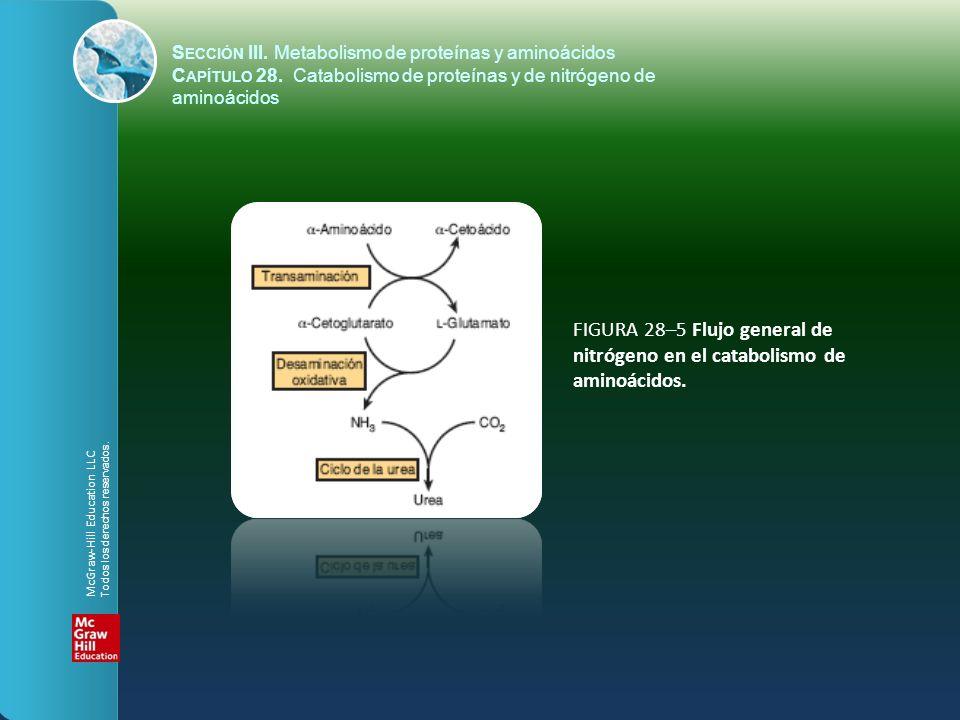 FIGURA 28–5 Flujo general de nitrógeno en el catabolismo de aminoácidos. S ECCIÓN III. Metabolismo de proteínas y aminoácidos C APÍTULO 28. Catabolism