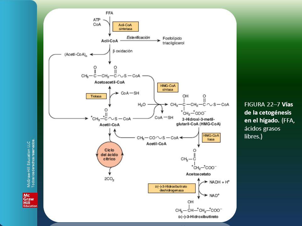 FIGURA 22–7 Vías de la cetogénesis en el hígado. (FFA, ácidos grasos libres.) McGraw-Hill Education LLC Todos los derechos reservados.
