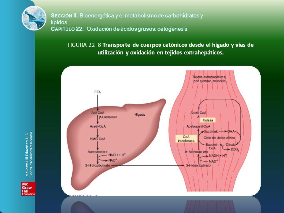 FIGURA 22–8 Transporte de cuerpos cetónicos desde el hígado y vías de utilización y oxidación en tejidos extrahepáticos. S ECCIÓN II. Bioenergética y