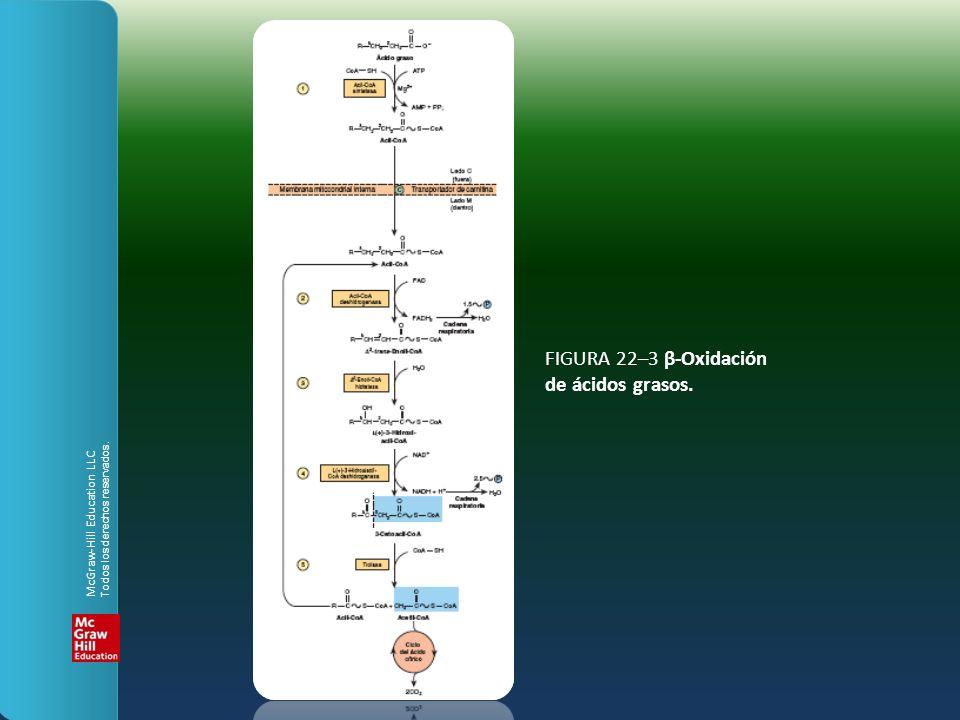 FIGURA 22–3 β-Oxidación de ácidos grasos. McGraw-Hill Education LLC Todos los derechos reservados.