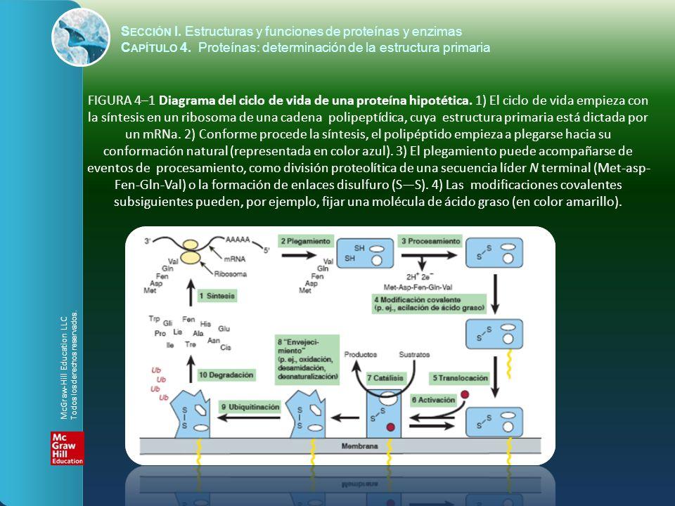 S ECCIÓN I. Estructuras y funciones de proteínas y enzimas C APÍTULO 4. Proteínas: determinación de la estructura primaria FIGURA 4–1 Diagrama del cic
