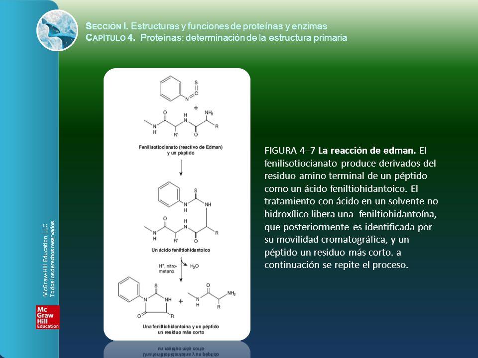 FIGURA 4–7 La reacción de edman. El fenilisotiocianato produce derivados del residuo amino terminal de un péptido como un ácido feniltiohidantoico. El