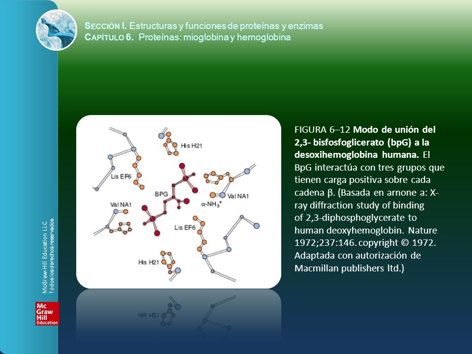 FIGURA 6–12 Modo de unión del 2,3- bisfosfoglicerato (bpG) a la desoxihemoglobina humana. El BpG interactúa con tres grupos que tienen carga positiva