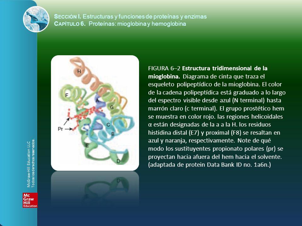 FIGURA 6–2 Estructura tridimensional de la mioglobina. Diagrama de cinta que traza el esqueleto polipeptídico de la mioglobina. El color de la cadena