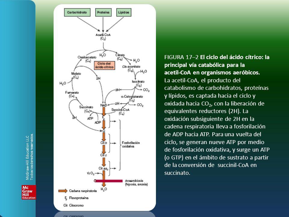 FIGURA 17–2 El ciclo del ácido cítrico: la principal vía catabólica para la acetil-CoA en organismos aeróbicos. La acetil-CoA, el producto del catabol