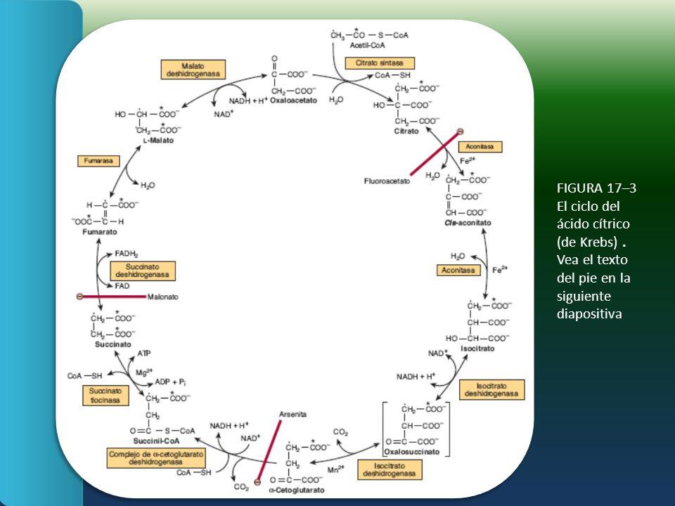 FIGURA 17–3 El ciclo del ácido cítrico (de Krebs).
