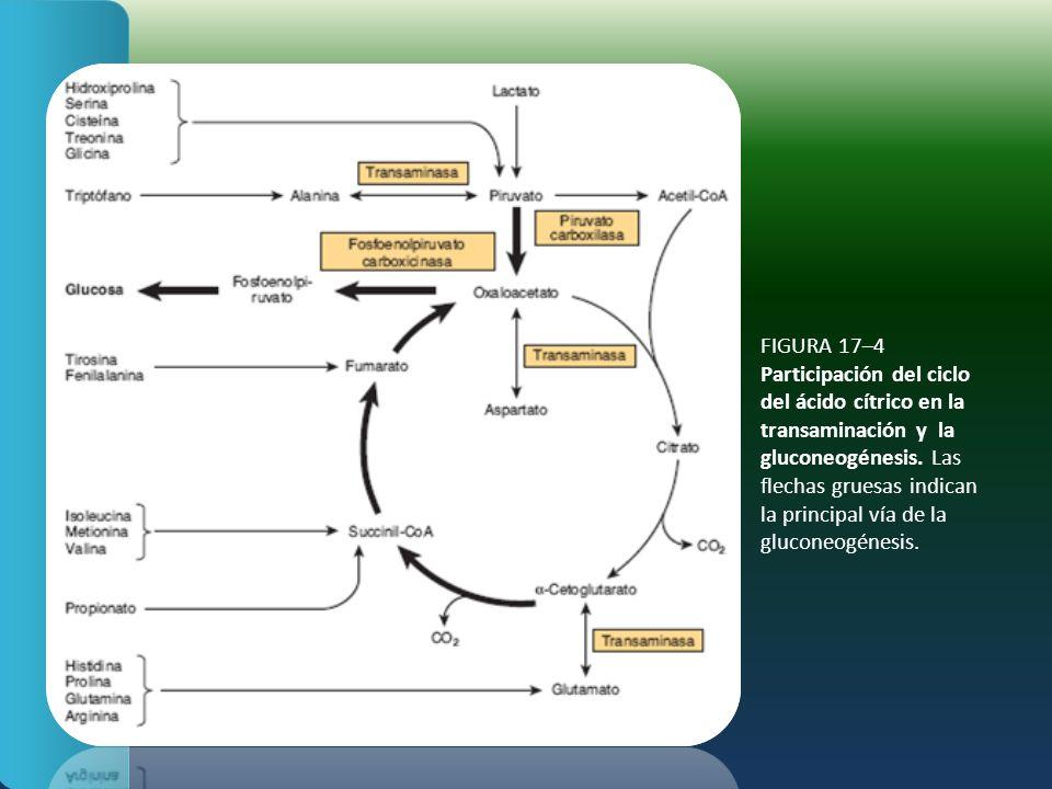 FIGURA 17–4 Participación del ciclo del ácido cítrico en la transaminación y la gluconeogénesis. Las flechas gruesas indican la principal vía de la gl