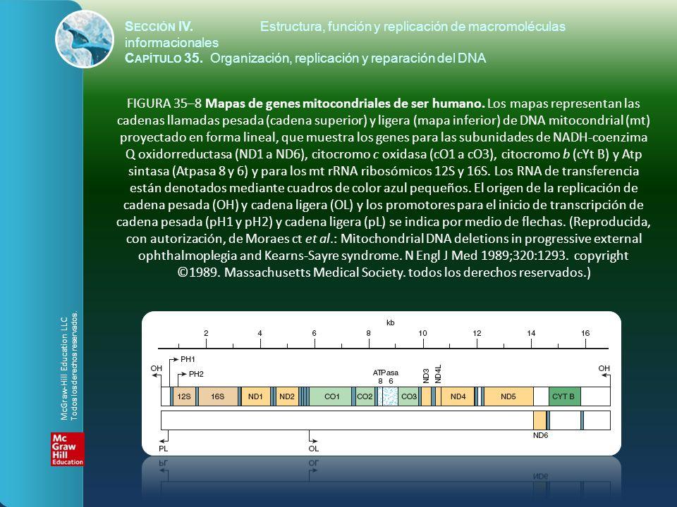FIGURA 35–8 Mapas de genes mitocondriales de ser humano. Los mapas representan las cadenas llamadas pesada (cadena superior) y ligera (mapa inferior)