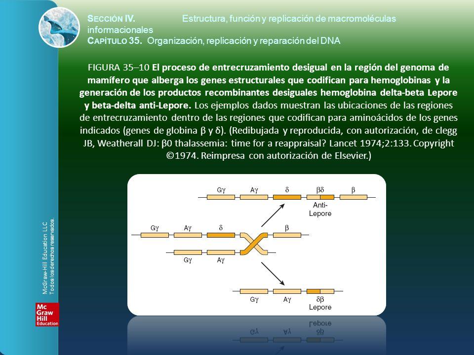 FIGURA 35–10 El proceso de entrecruzamiento desigual en la región del genoma de mamífero que alberga los genes estructurales que codifican para hemogl