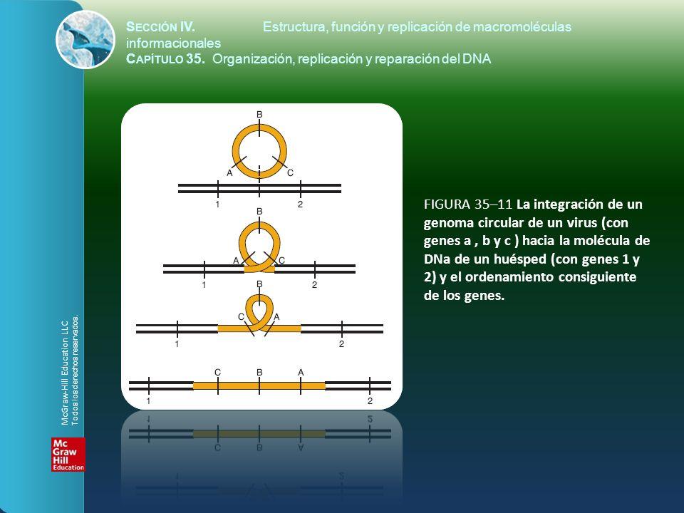 FIGURA 35–11 La integración de un genoma circular de un virus (con genes a, b y c ) hacia la molécula de DNa de un huésped (con genes 1 y 2) y el orde