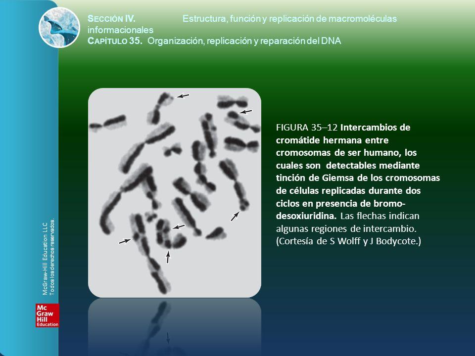 FIGURA 35–12 Intercambios de cromátide hermana entre cromosomas de ser humano, los cuales son detectables mediante tinción de Giemsa de los cromosomas