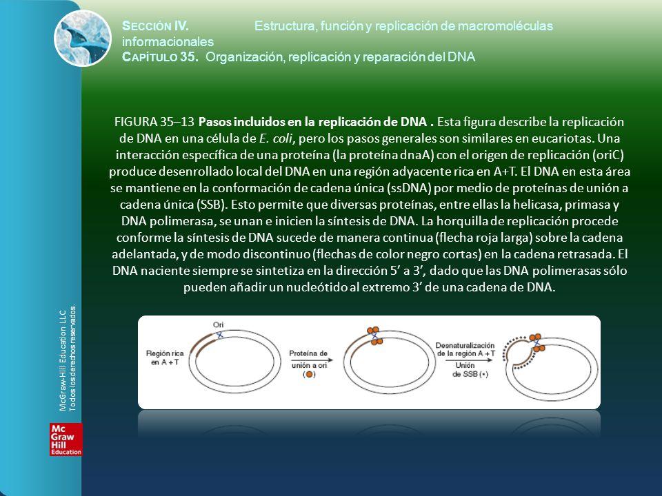 FIGURA 35–13 Pasos incluidos en la replicación de DNA. Esta figura describe la replicación de DNA en una célula de E. coli, pero los pasos generales s