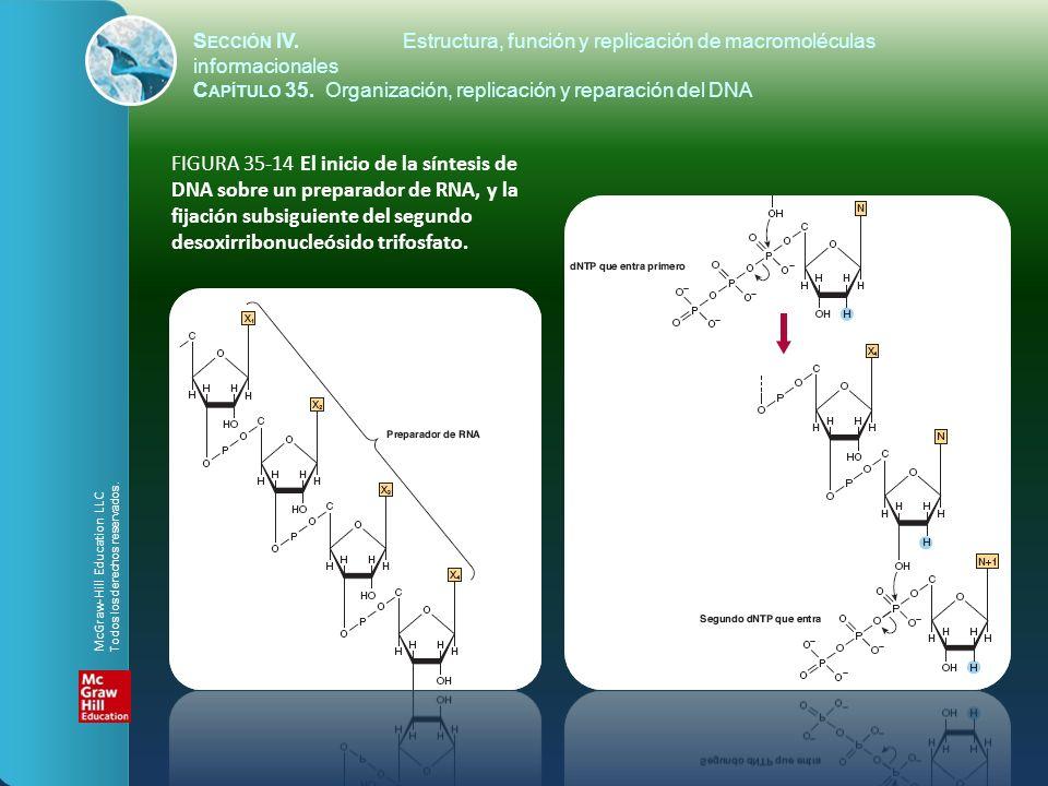 FIGURA 35-14 El inicio de la síntesis de DNA sobre un preparador de RNA, y la fijación subsiguiente del segundo desoxirribonucleósido trifosfato. S EC