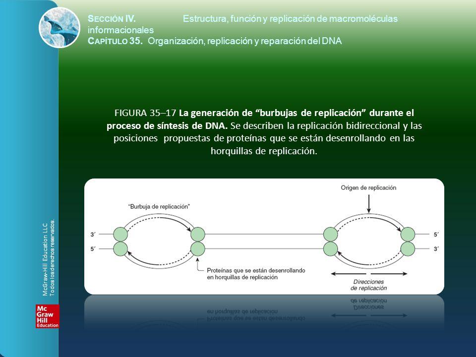 FIGURA 35–17 La generación de burbujas de replicación durante el proceso de síntesis de DNA. Se describen la replicación bidireccional y las posicione