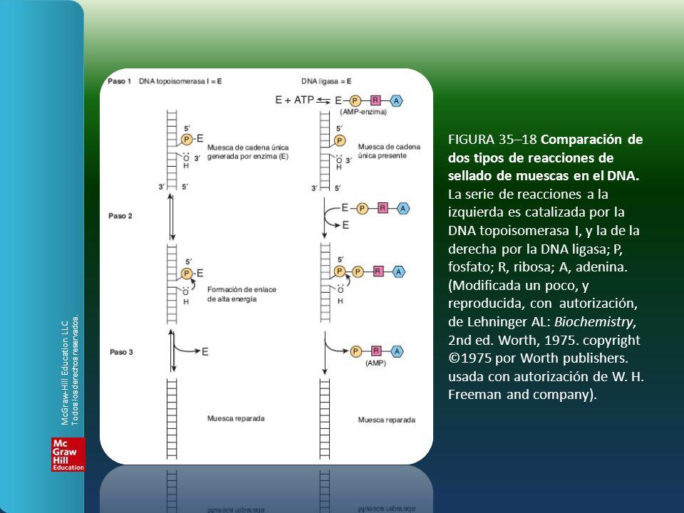 FIGURA 35–18 Comparación de dos tipos de reacciones de sellado de muescas en el DNA. La serie de reacciones a la izquierda es catalizada por la DNA to