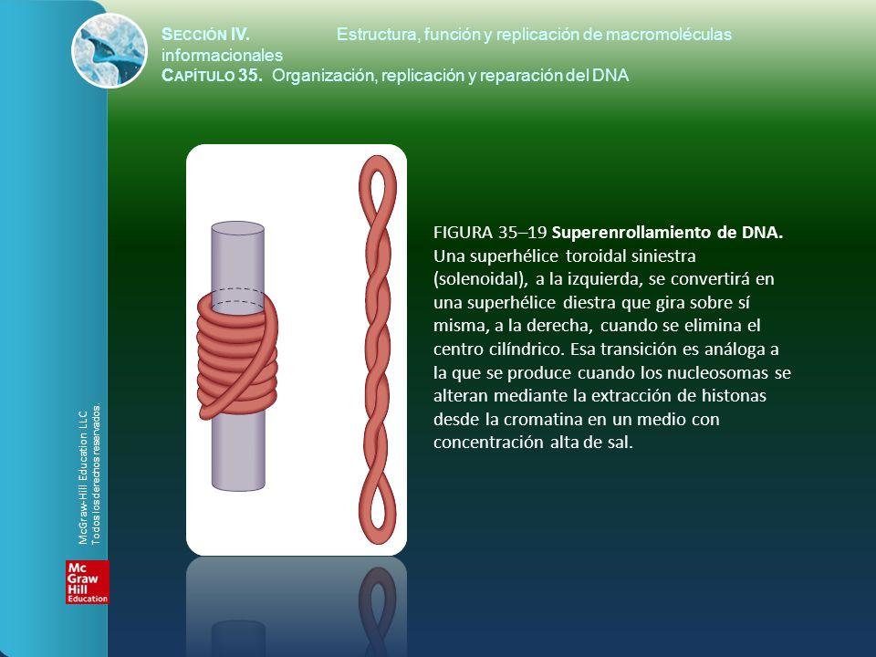 FIGURA 35–19 Superenrollamiento de DNA. Una superhélice toroidal siniestra (solenoidal), a la izquierda, se convertirá en una superhélice diestra que