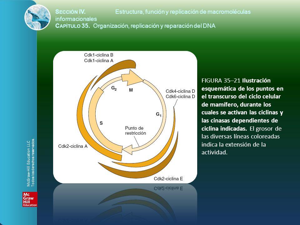 FIGURA 35–21 Ilustración esquemática de los puntos en el transcurso del ciclo celular de mamífero, durante los cuales se activan las ciclinas y las ci