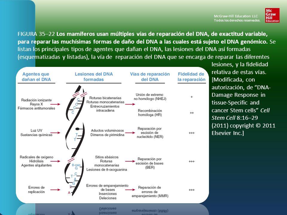 FIGURA 35–22 Los mamíferos usan múltiples vías de reparación del DNA, de exactitud variable, para reparar las muchísimas formas de daño del DNA a las