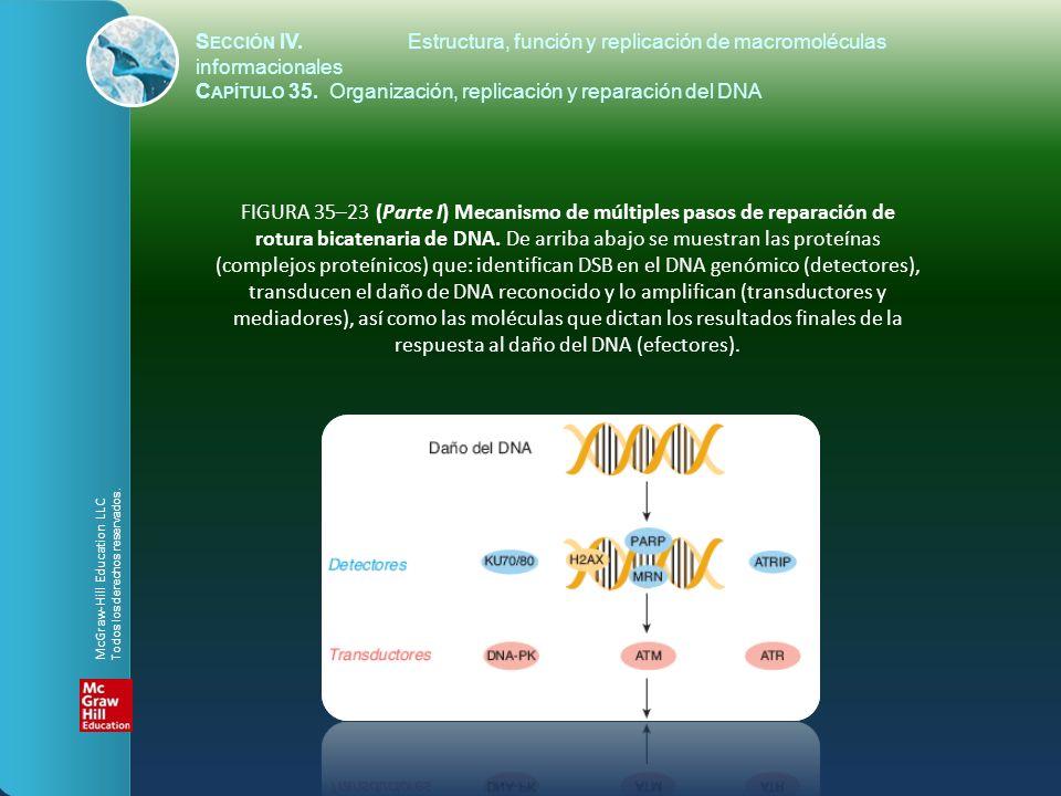 FIGURA 35–23 (Parte I) Mecanismo de múltiples pasos de reparación de rotura bicatenaria de DNA. De arriba abajo se muestran las proteínas (complejos p