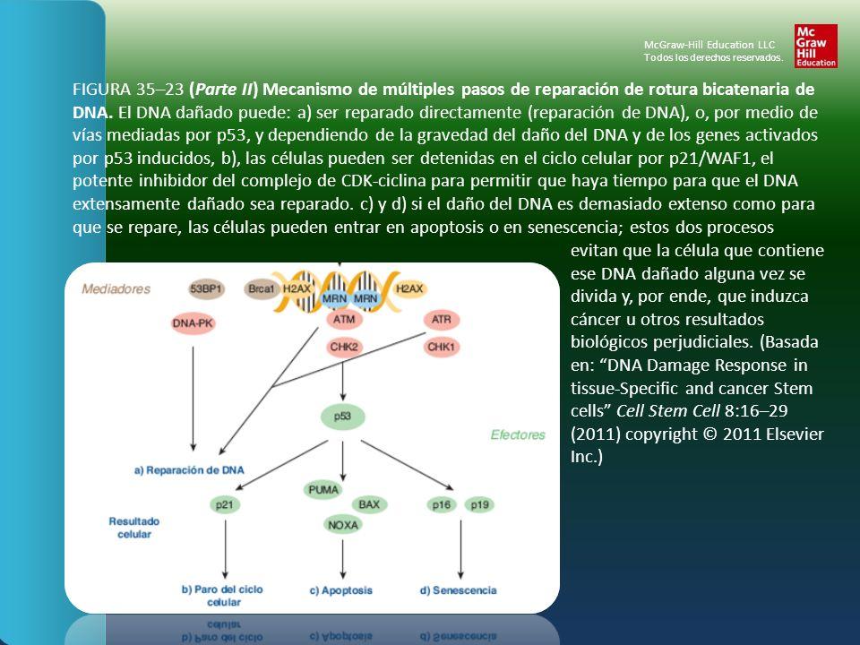 FIGURA 35–23 (Parte II) Mecanismo de múltiples pasos de reparación de rotura bicatenaria de DNA. El DNA dañado puede: a) ser reparado directamente (re