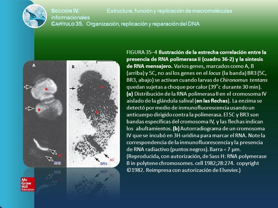 FIGURA 35–4 Ilustración de la estrecha correlación entre la presencia de RNA polimerasa ii (cuadro 36-2) y la síntesis de RNA mensajero. Varios genes,