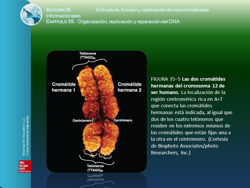 FIGURA 35–5 Las dos cromátides hermanas del cromosoma 12 de ser humano. La localización de la región centromérica rica en A+T que conecta las cromátid