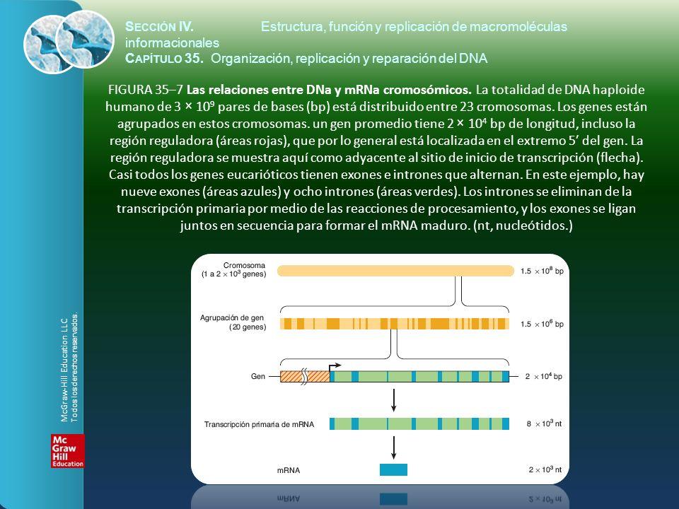 FIGURA 35–7 Las relaciones entre DNa y mRNa cromosómicos. La totalidad de DNA haploide humano de 3 × 10 9 pares de bases (bp) está distribuido entre 2