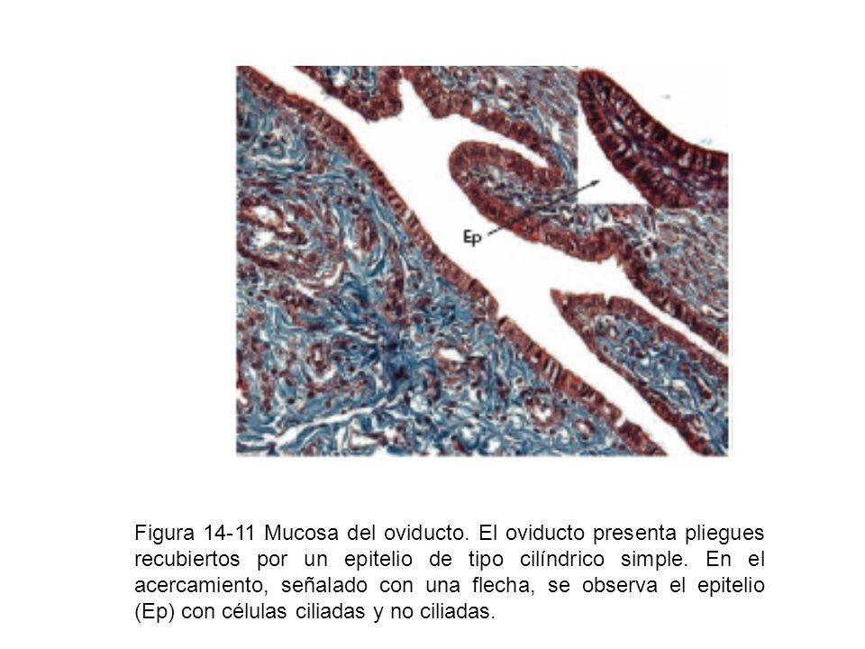 Figura 14-11 Mucosa del oviducto. El oviducto presenta pliegues recubiertos por un epitelio de tipo cilíndrico simple. En el acercamiento, señalado co
