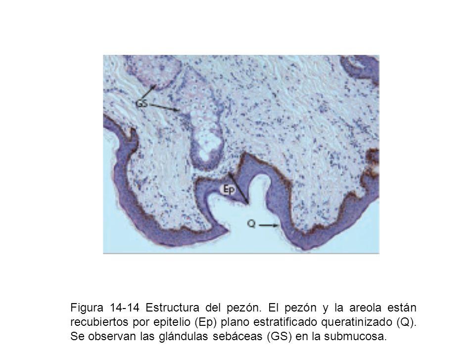 Figura 14-14 Estructura del pezón. El pezón y la areola están recubiertos por epitelio (Ep) plano estratificado queratinizado (Q). Se observan las glá