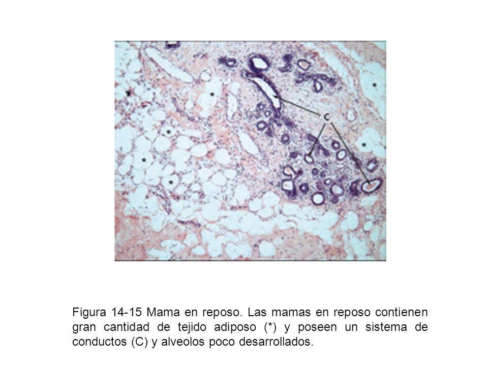 Figura 14-15 Mama en reposo. Las mamas en reposo contienen gran cantidad de tejido adiposo (*) y poseen un sistema de conductos (C) y alveolos poco de